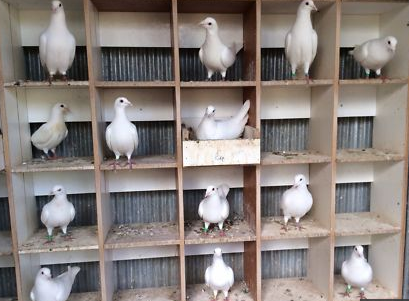 لأول مره مشروع تربية الحمام 2020 بالتفصيل معلومات كاملة Pigeon Breeding Project