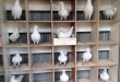 Project of pigeon breeding for beginners