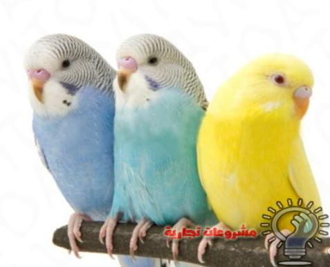 دراسة جدوى مشروع تربية عصافير الزينة وربح هائل