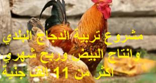 مشروع تربية الدجاج البلدي