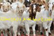 دراسة جدوي مشروع تربية الماعز
