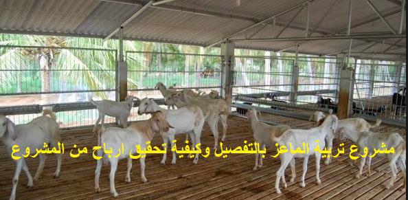 مشروع تربية الماعز