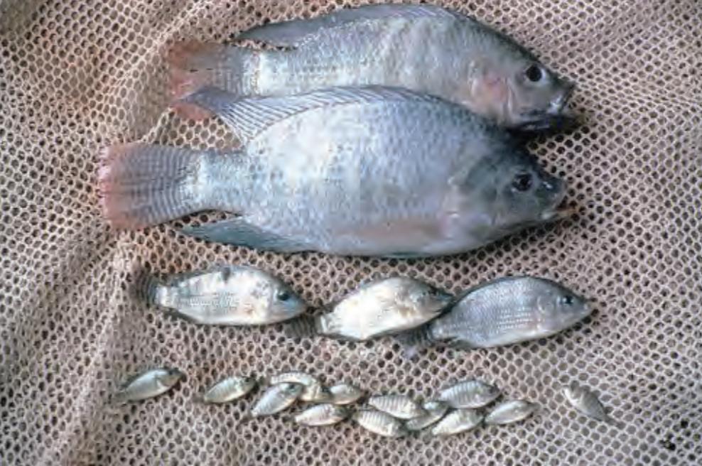 مدة دورة تربية الاسماك
