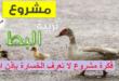 مشروع تربية البط
